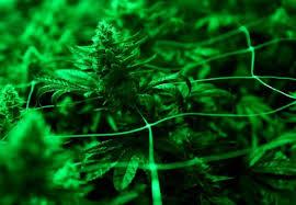 Colorado Cannabis Tours - Denver Marijuana Tourism   Avi Limo